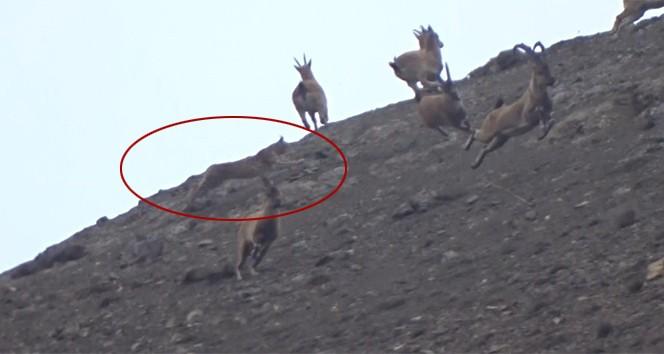 Vaşak, dağ keçisi sürüsüne böyle saldırdı
