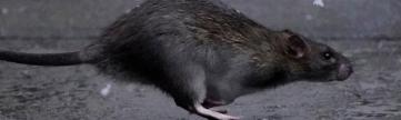 Salgında  korona fareleri nasıl vurdu